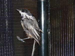 Black-capped Chickadee covered in Tanglefoot product
